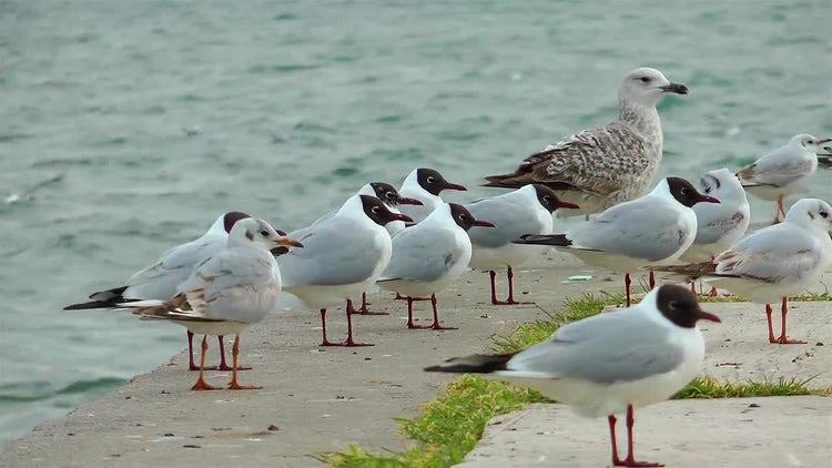Seagulls On The Shoreline: Stock Video