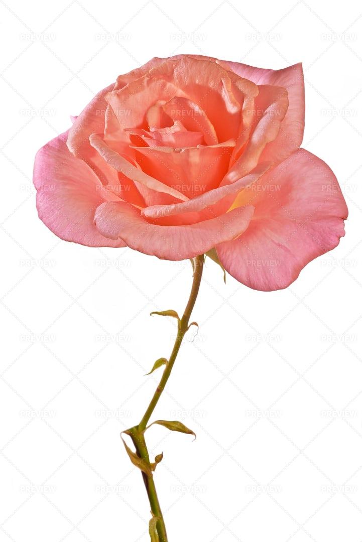 Pink Rose: Stock Photos