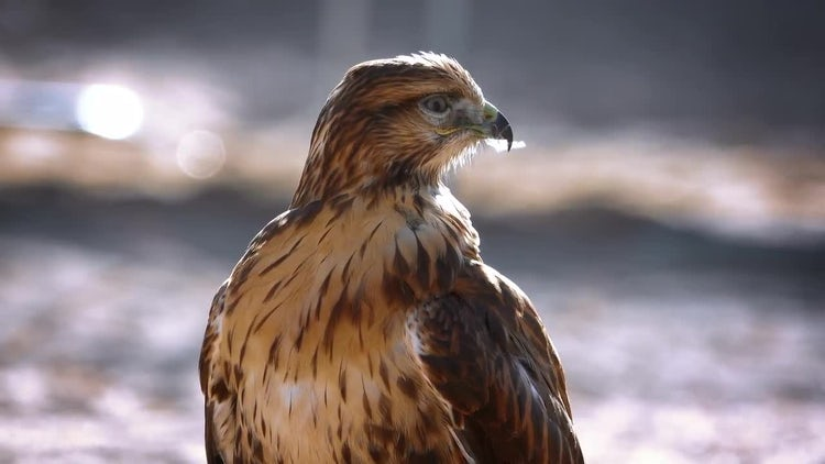 Black Kite Cleans Feathers: Stock Video