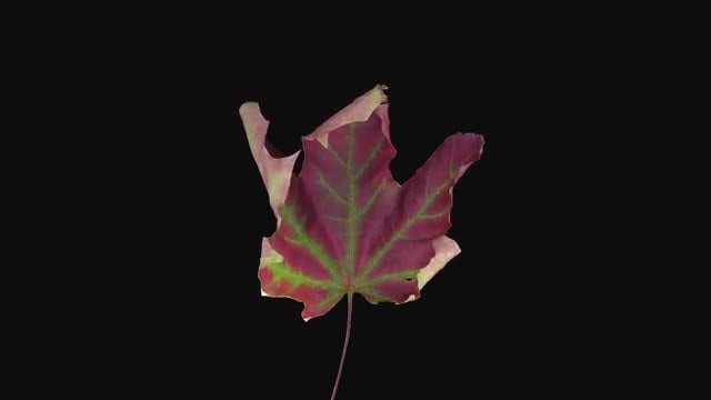 Drying Red-Green Maple Leaf: Stock Video