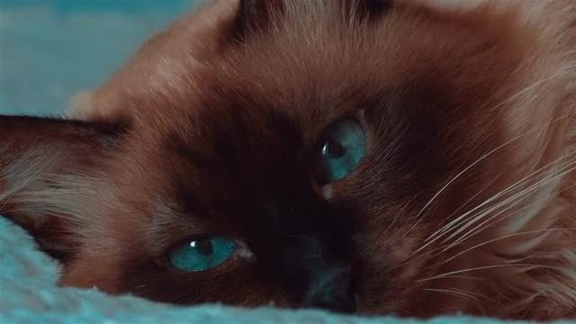 Closeup Of Siamese Cat: Stock Video