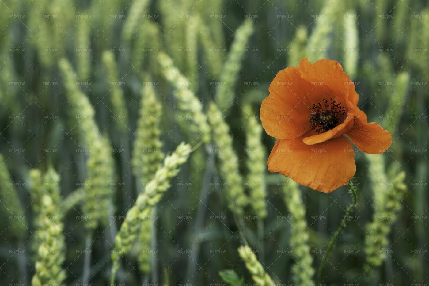 Poppy Flower: Stock Photos