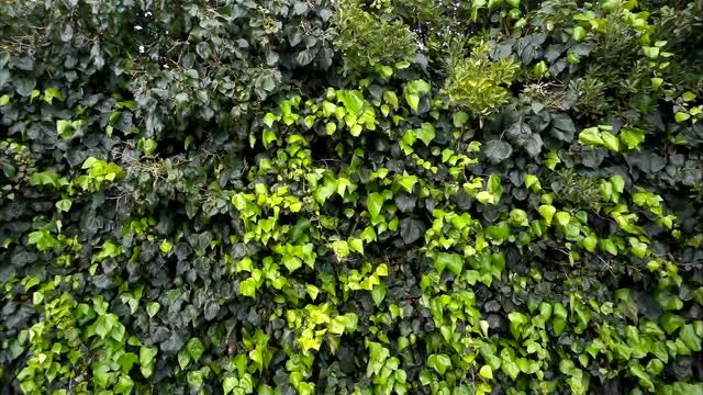 Green Ivy Plants Background: Stock Video