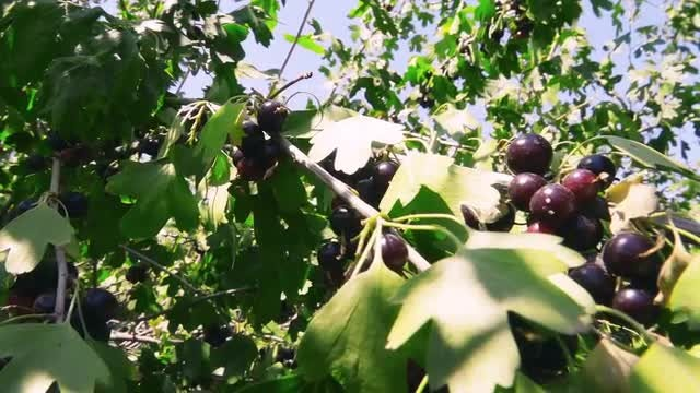 Close-up Shot Of Blackcurrant Branch: Stock Video