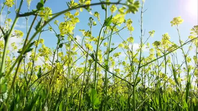 Canola Flowers And Blue Sky: Stock Video