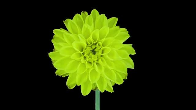 Yellow Dahlia Opening And Dying: Stock Video