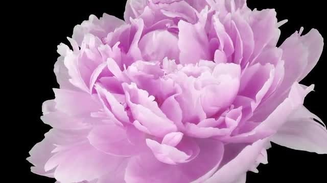 Pink Peony Flower Opening : Stock Video
