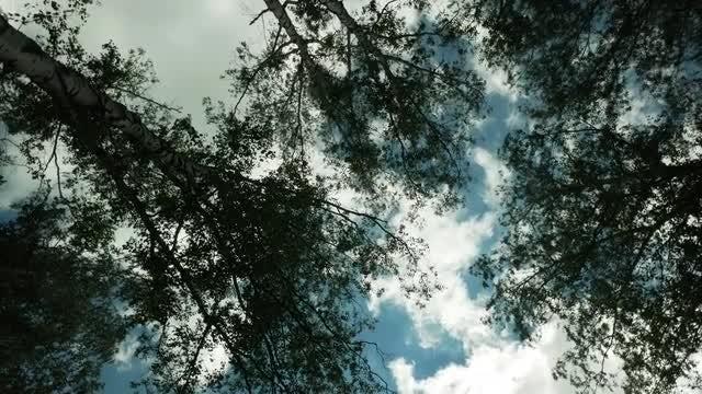 POV Shot Of Birch Trees: Stock Video
