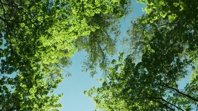 Looking Up The Trees: Stock Video