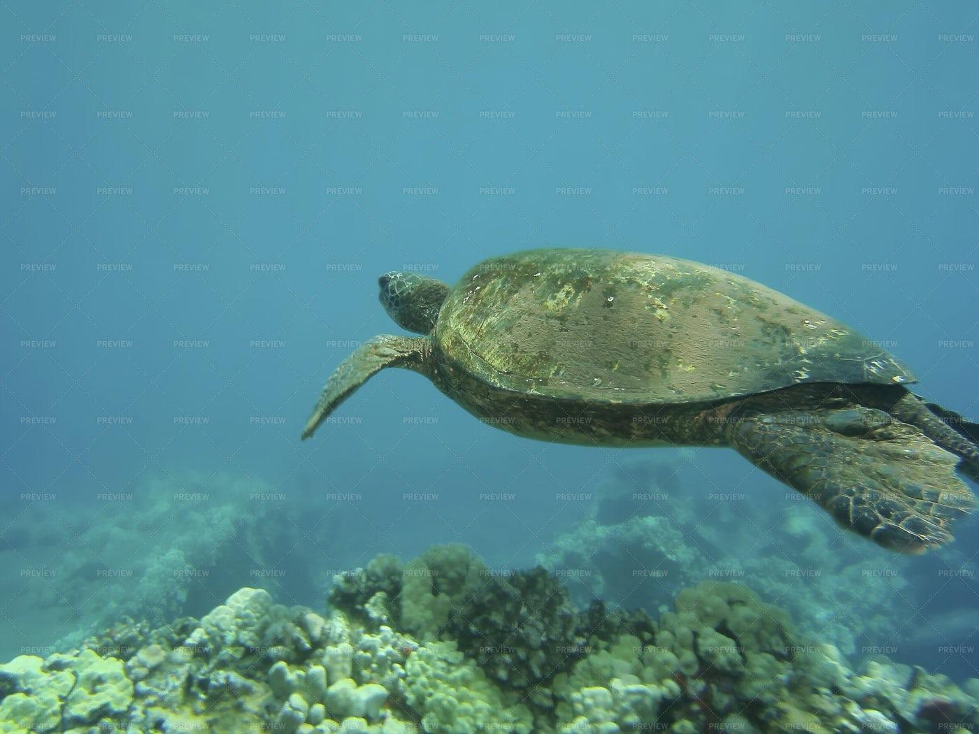 Green Turtle Shimming: Stock Photos
