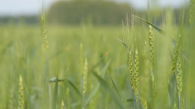 Field Of Green Wheat Ears: Stock Video