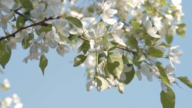 Apple Blossoms During Spring : Stock Video