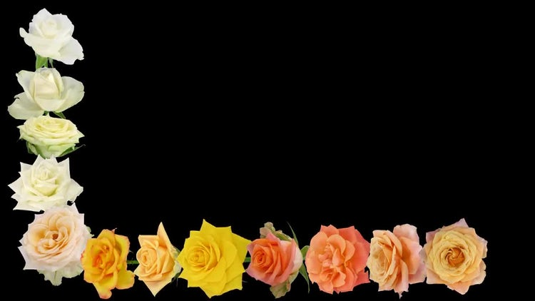 Frame Of Colorful Roses Opening : Stock Video