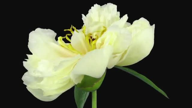 Dying White Peony: Stock Video