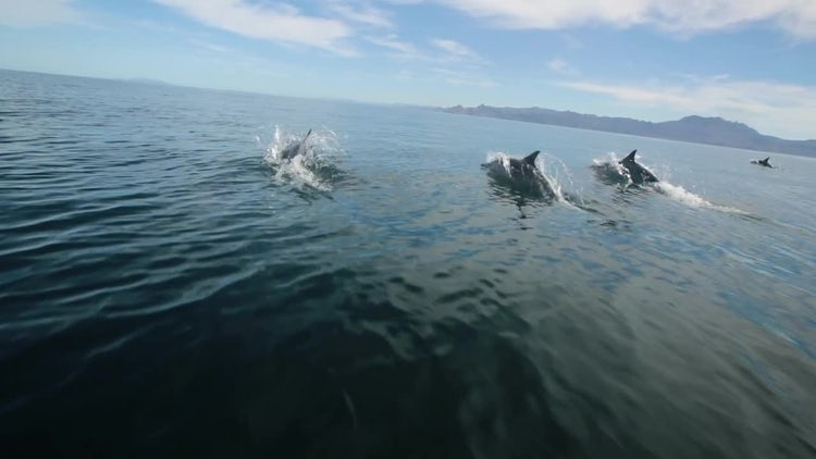 Dolphins Swimming In The Ocean: Stock Video