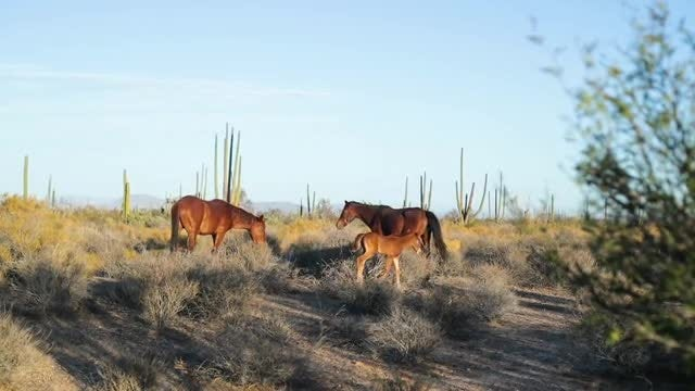 Horses Walking In The Desert: Stock Video