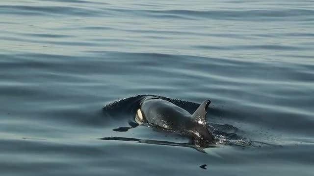 Orca Whale Piercing Water Surface: Stock Video
