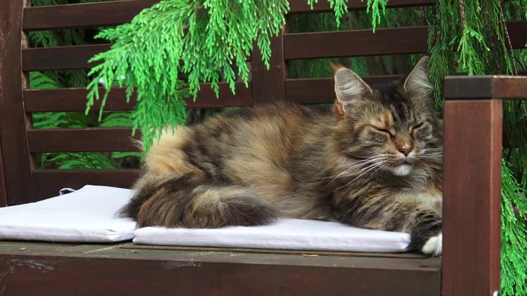 Maine Coon Cat Sleeping: Stock Video