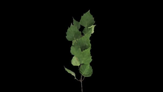 Drying Birch Tree Leaves: Stock Video