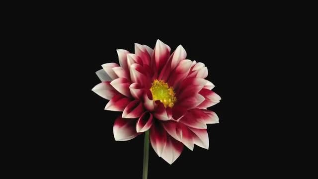 Blooming Red-White Dahlia: Stock Video