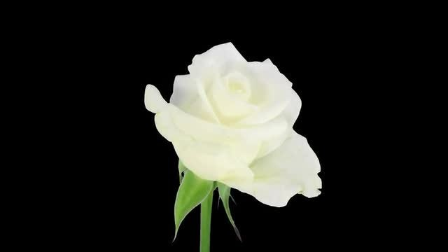 White Akito Rose Opens: Stock Video