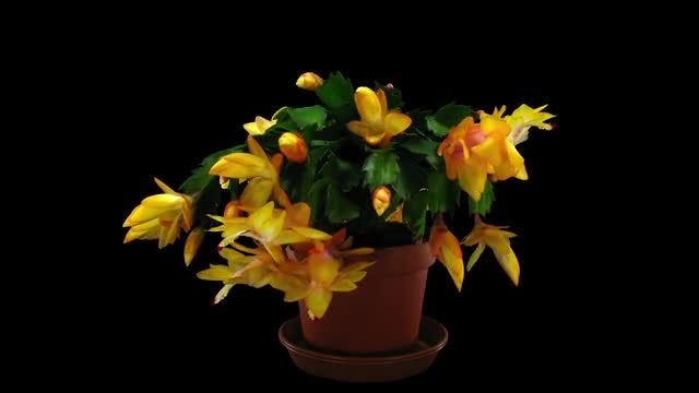 Orange Christmas Cactus Blooming: Stock Video