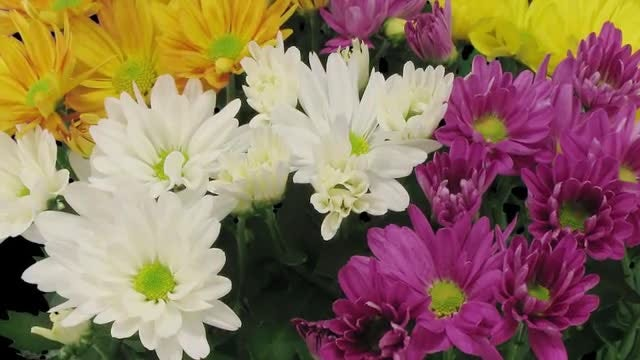 Multi-Colored Chrysanthemum Flowers: Stock Video
