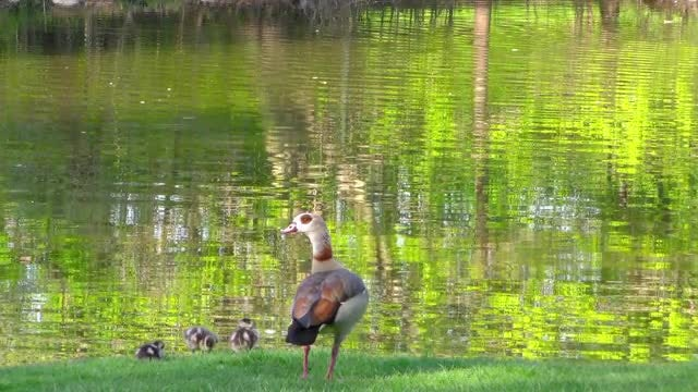 Duck Family By The Lake: Stock Video