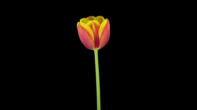 Rotating Red-Yellow Tulip: Stock Video