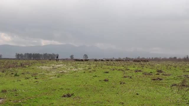 Cows Grazing On A Field: Stock Video