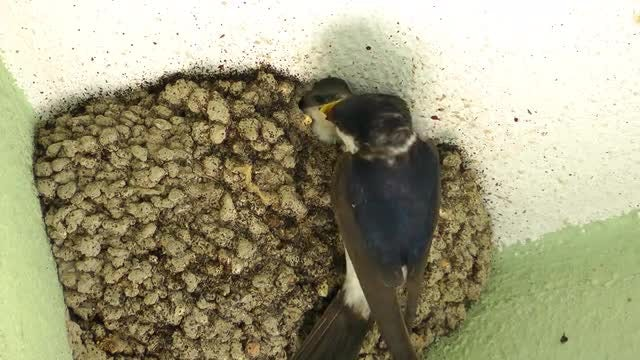 Mother Bird Feeding Her Baby : Stock Video