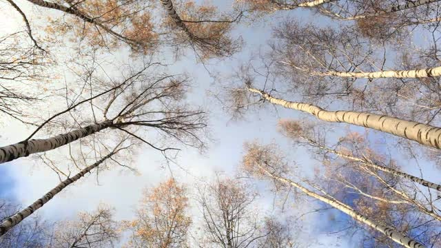 Time Lapse Of Birch trees: Stock Video