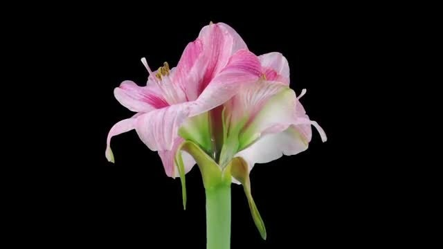Opening Of Blushing Bride Amaryllis: Stock Video