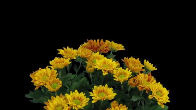 Orange Chrysanthemum Flowers: Stock Video