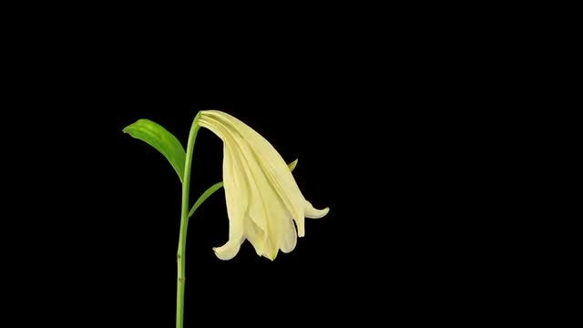 Dying White Easter lily: Stock Video