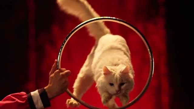 Cat Jumps Through A Ring At Circus: Stock Video
