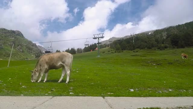 Cow Feeding On Gree Grass : Stock Video