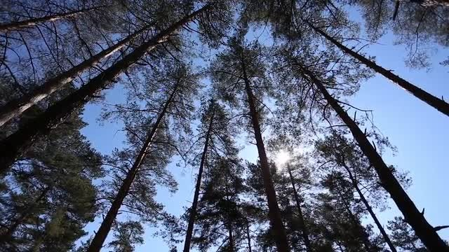 Low-angle Shot Of Pine Trees: Stock Video