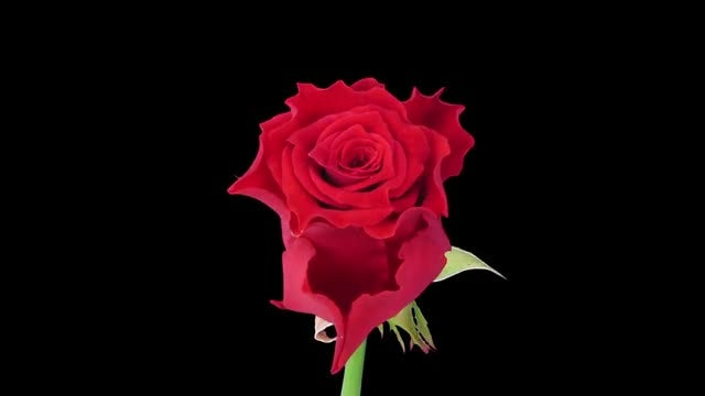 Time-lapse of Blooming Escada Rose : Stock Video