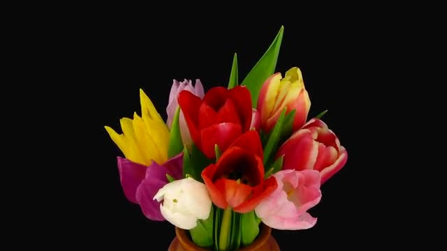 Time-Lapse of Opening Tulips : Stock Video