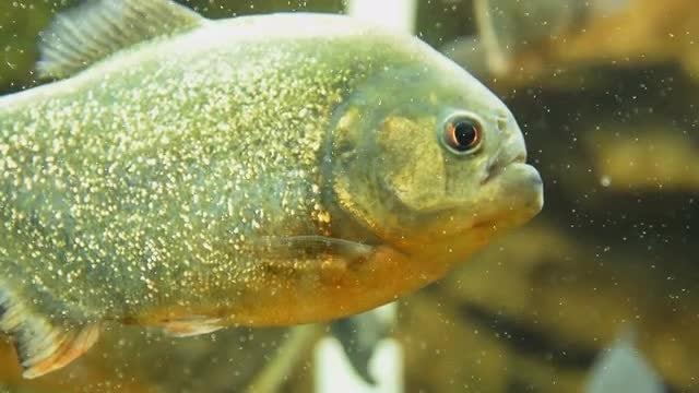 Piranha Nattereri Close Up: Stock Video