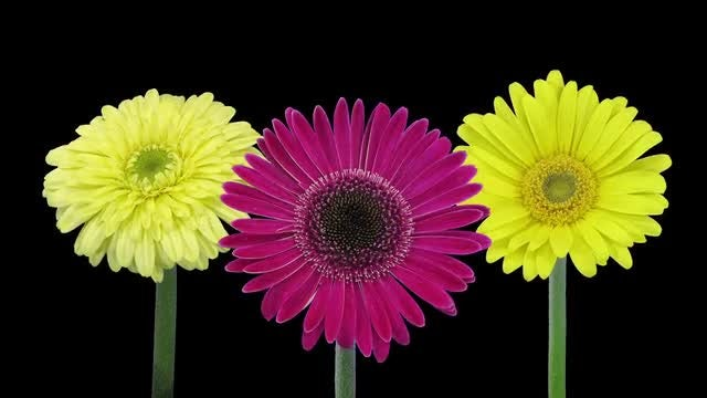 Time-lapse of Blooming Daisies: Stock Video