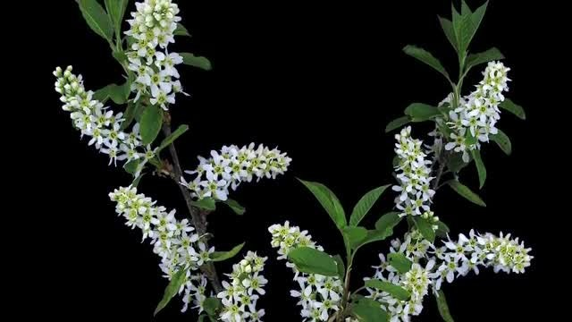 Blooming White Cherry Branch: Stock Video