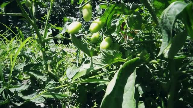 Tilting Shot Of Tomato Plant: Stock Video
