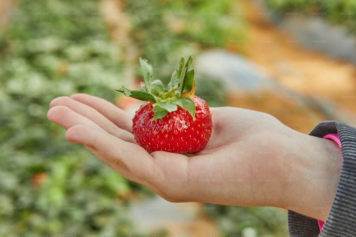 Picking Fresh Strawberries: Stock Photos