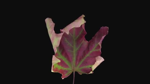 Red-green Maple Leaf Dying : Stock Video