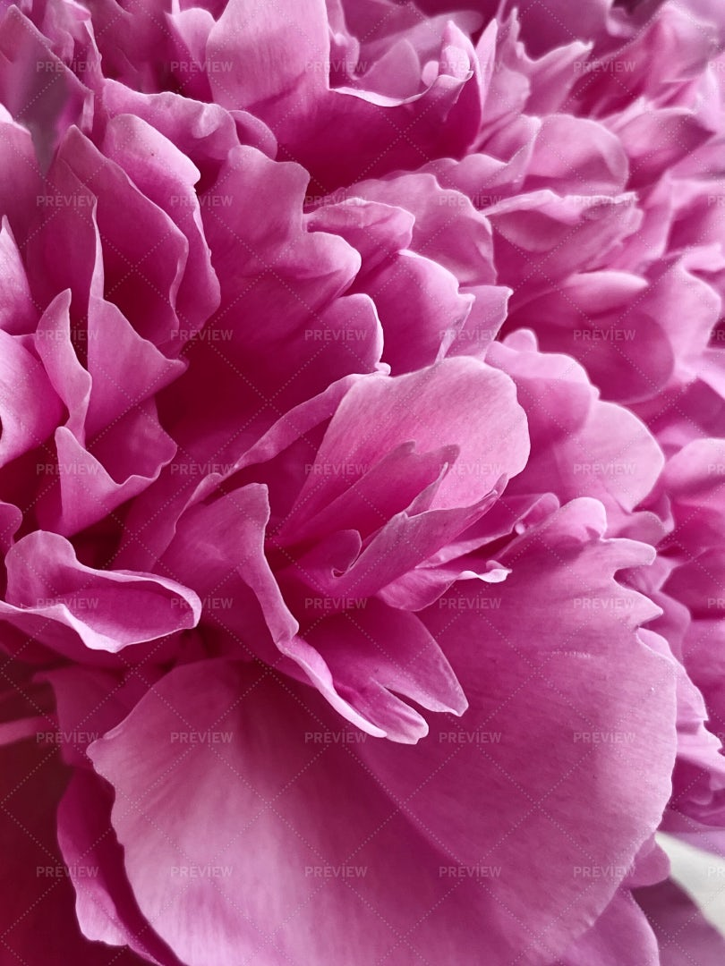 Floral Petals Pink Peony Background: Stock Photos