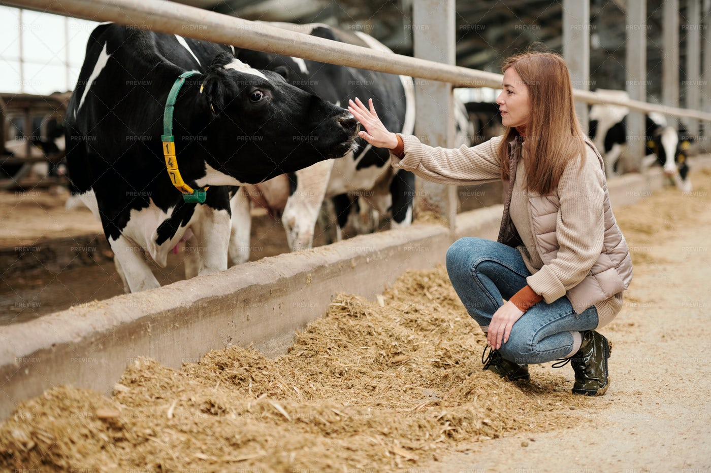 Worker Touching Cow Nose: Stock Photos