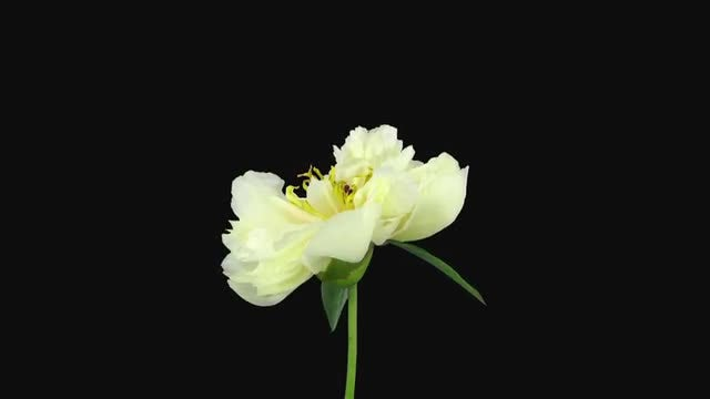 White Peony Flower Dying : Stock Video