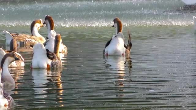 Flock Of Geese In Water: Stock Video